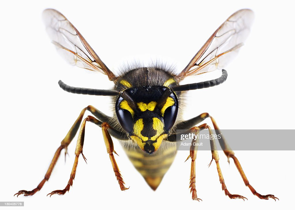 Close up of wasp : Stock Photo