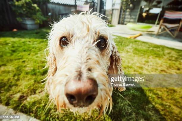 Close up of wet dog in backyard after swimming in pool