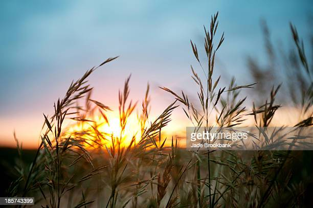 Close up of wheat field at sunset