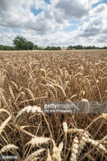 Close Up of Wheat Growing in an Essex Field