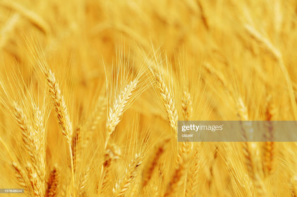 Close up of wheat in the evening