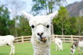 Close up of White Alpaca Looking Straight Ahead in the beautiful green meadow, It's curious cute eyes looking in the camera - Selective focus on the alpaca's face in the foreground.