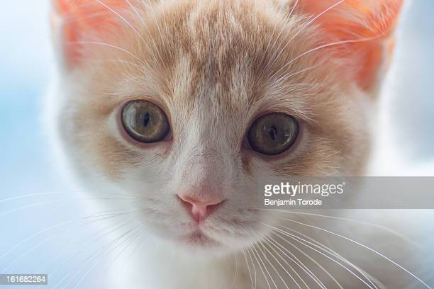 Close up of white and beige kitten