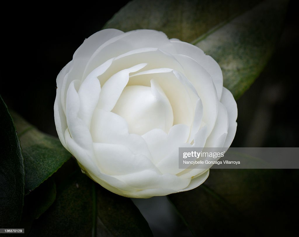 Close up of White Camellia