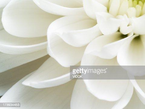 Close up of white chrysanthemum flower petals