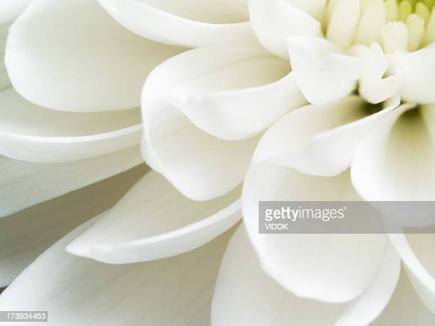 Close up of white chrysanthemum flower petals