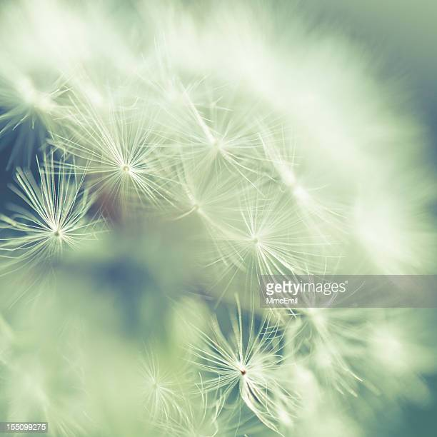 Close up of white dandelion seeds