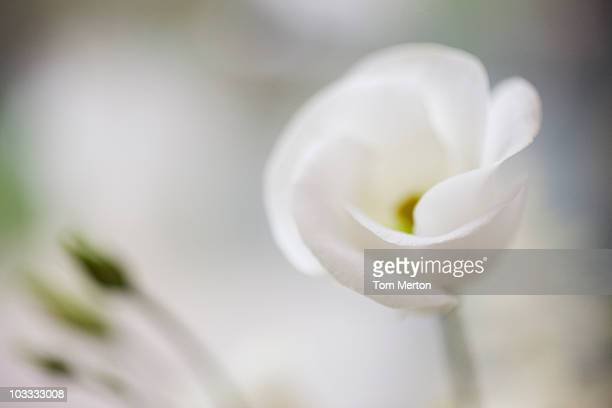 Close up of white flower