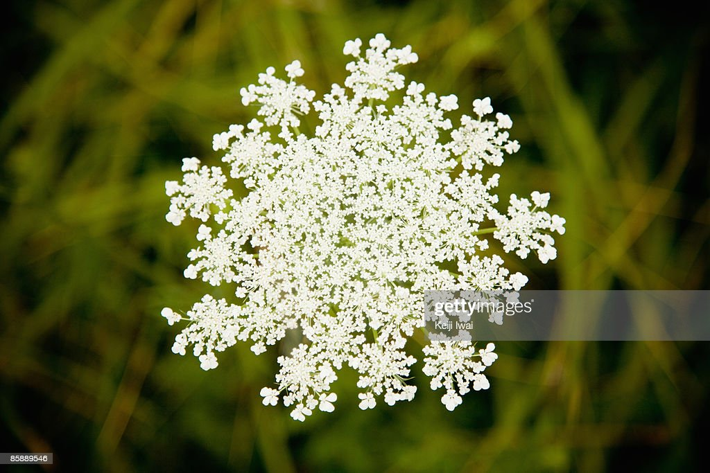 Close Up of White Flower Shaped Like a Snowflake : Stock Photo