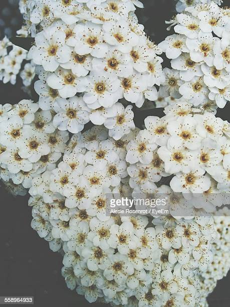 Close Up Of White Flowers