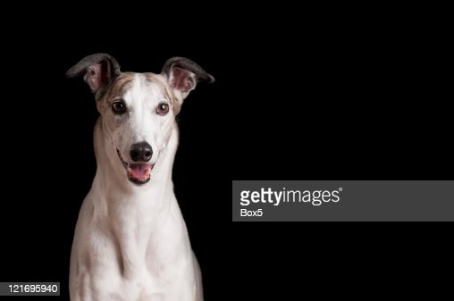 Close up of white greyhound against black background : Stock Photo