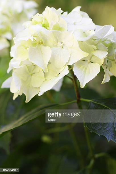 Close-up de flor branca Hidrângea