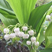 Close Up Of White Lily Of Valley Flowers