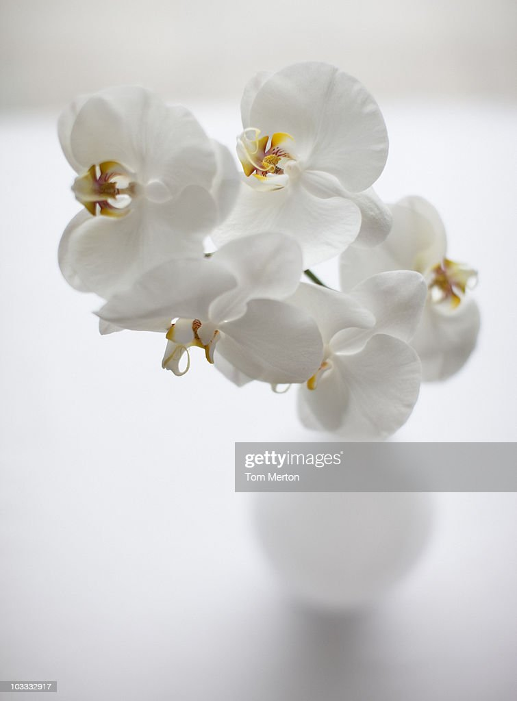 Close up of white orchids in vase : Stock Photo