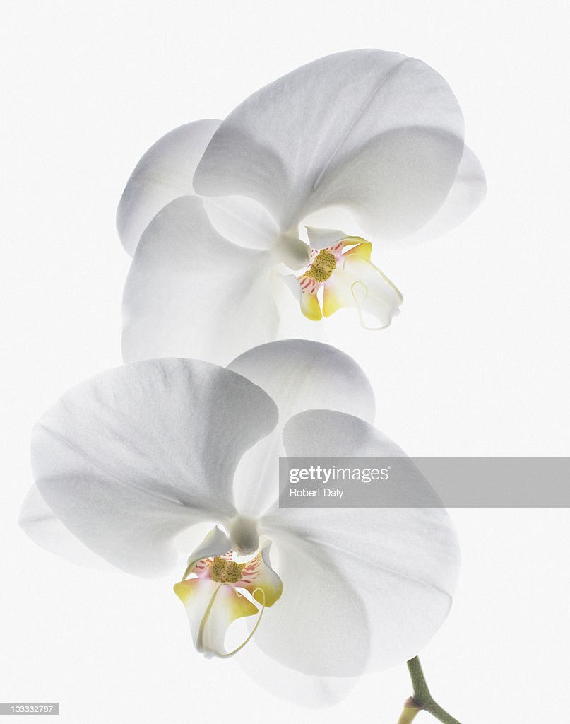 Close up of white orchids on stem : Stock Photo