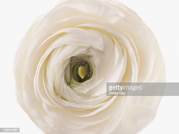 Close up of white ranunculus
