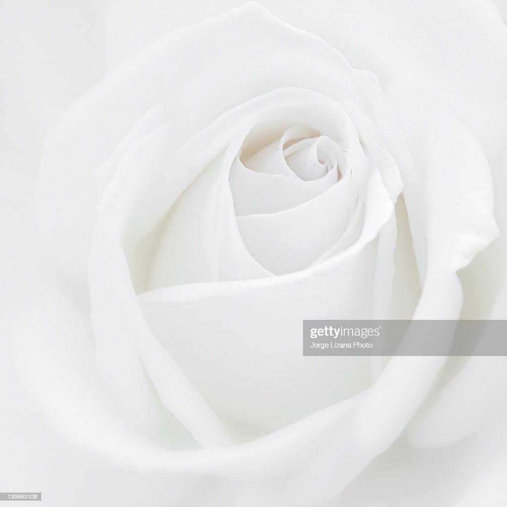 Close  up of white rose : Stock Photo