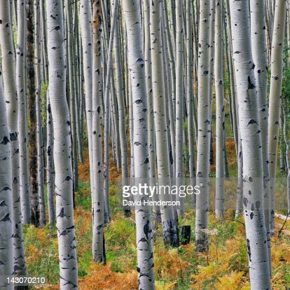 Close up of white trees in forest