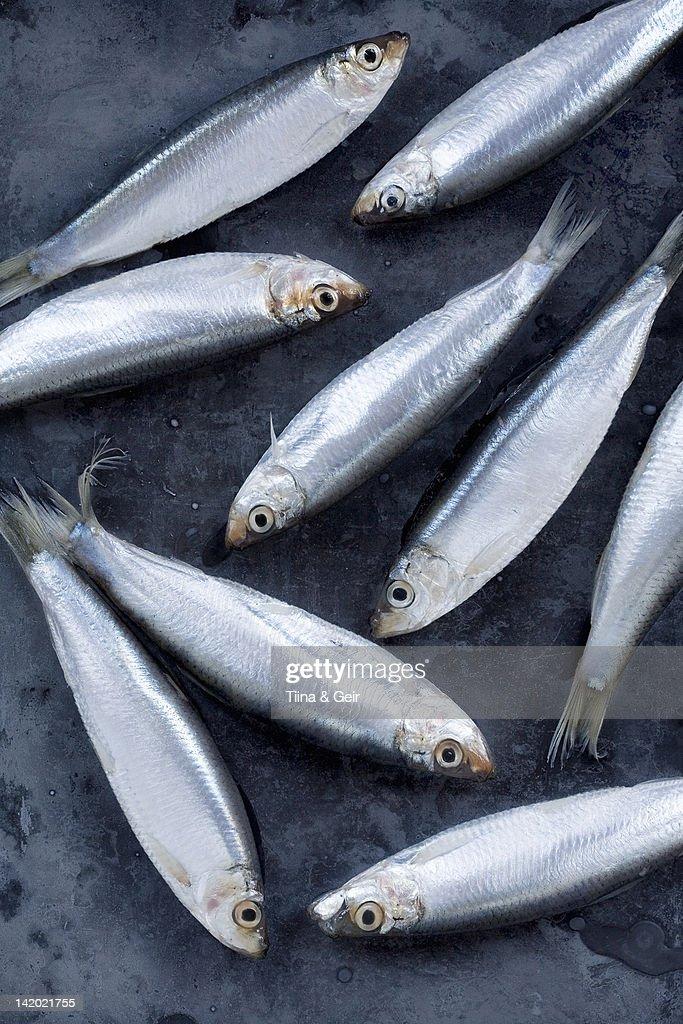Close up of whitebait fish