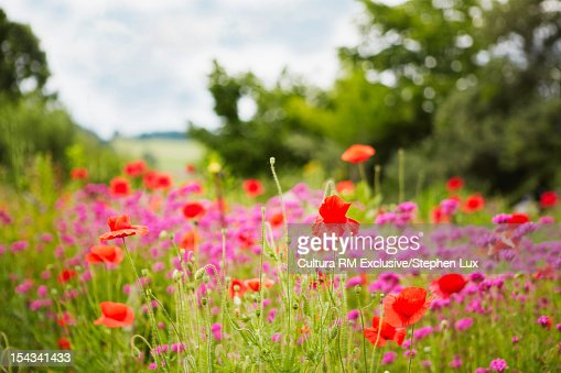 Close up of wildflowers in field : Stock Photo