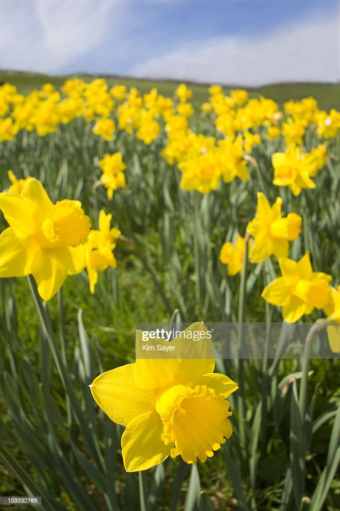Close up of yellow daffodils in field : Stock Photo