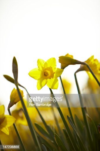 Close up of yellow daffodils : Stock Photo