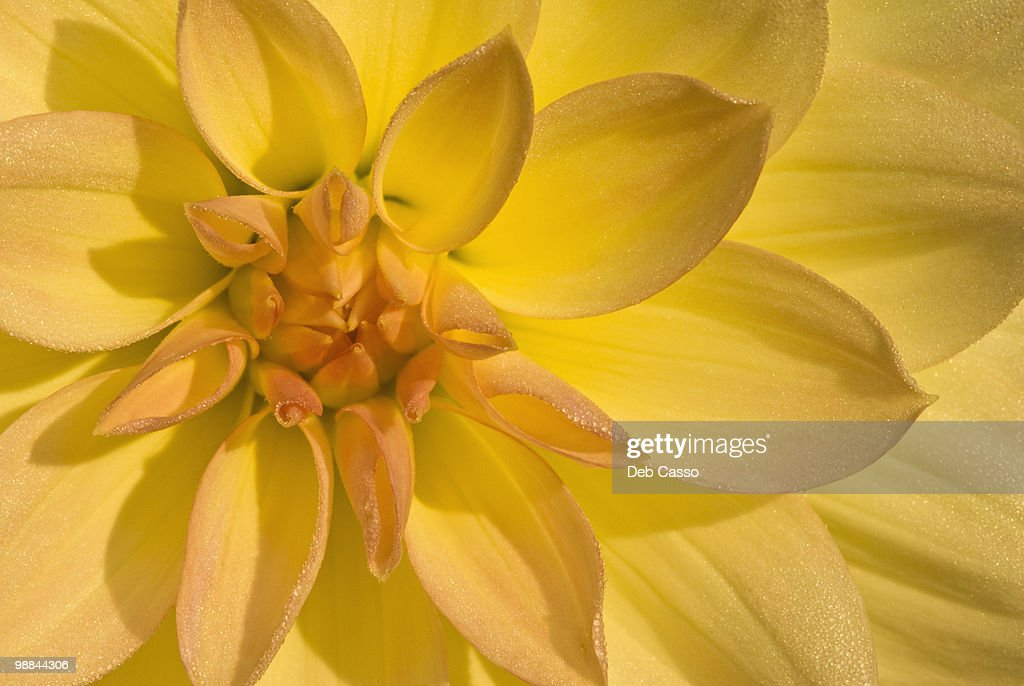 Close up of yellow dahlia : Stock Photo