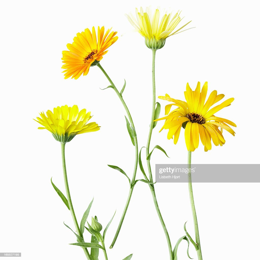 Close up of yellow flowers : Stock Photo