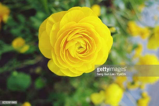 Close Up of Yellow Rose