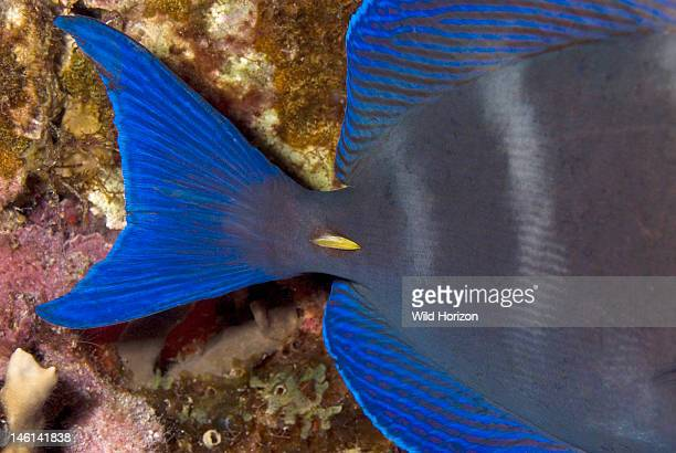 Close up of yellow spine at the base of the tail on a blue tang Acanthurus coeruleus Curacao Netherlands Antilles