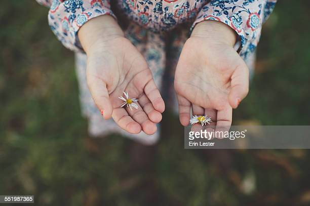 Close up of young girls hands holding daisy flowers
