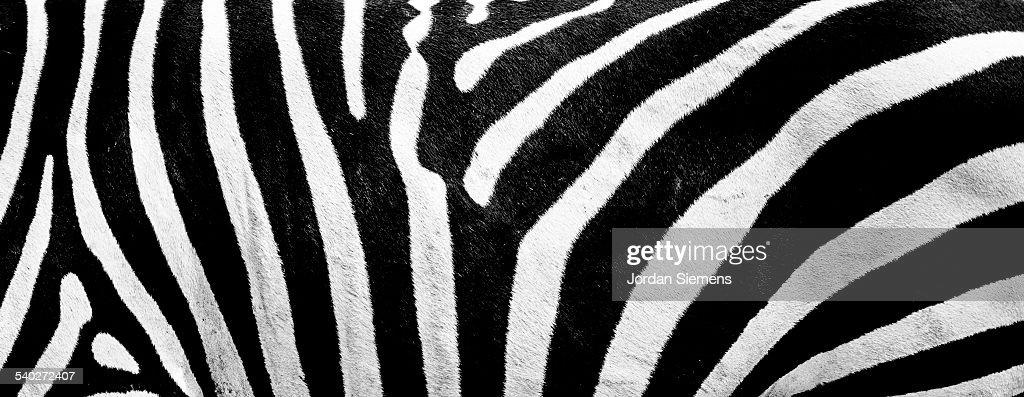 Close up of Zebra stripes.