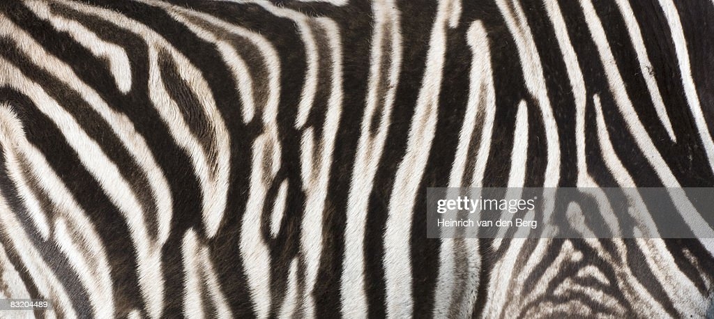 Zebra Without Stripes Close Up Of Zebra Stri...