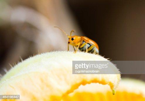Close up og young Rice Thrips, pumpkin pest. : Stock Photo