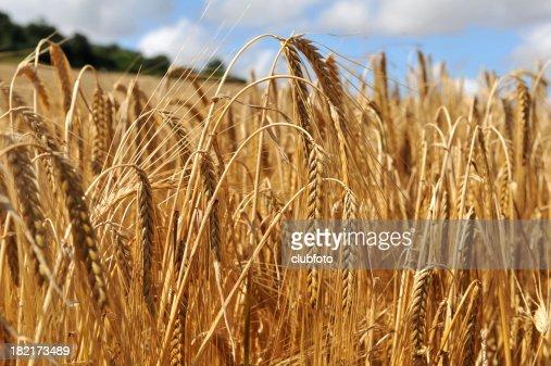 Nahaufnahme auf der Zuschnitt von Gerste in einem Feld