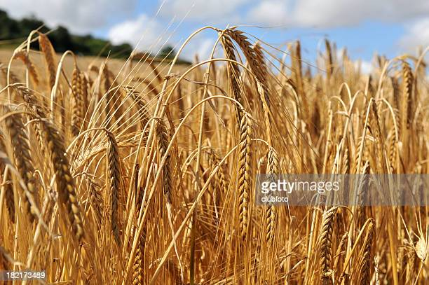 Close up on the crop of barley in a field