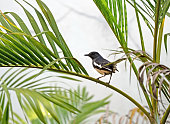 Closeup Oriental Magpie Robin Perched on Palm Leaf Isolated on Background