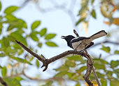 Closeup Oriental Magpie Robin Perched on Tree Branch Isolated on Background