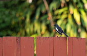 Closeup Oriental Magpie Robin Perched on Wooden Isolated on Background