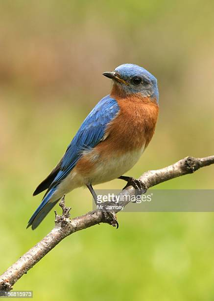 Close up photo of a bluebird on a branch while looking aside