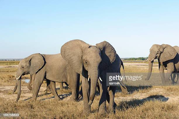 close up photo of an african elephant in chobe park