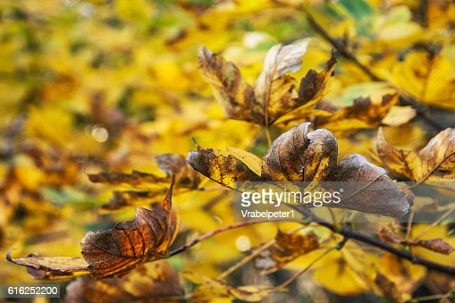 Close up photo of maple tree with cracked yellow leaves : Stock Photo
