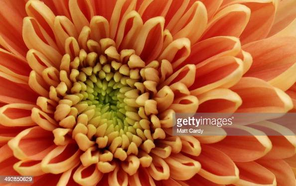 A close up photograph shows a chrysanthemum flower at RHS Chelsea Flower Show on May 20 2014 in London England The prestigious gardening show which...
