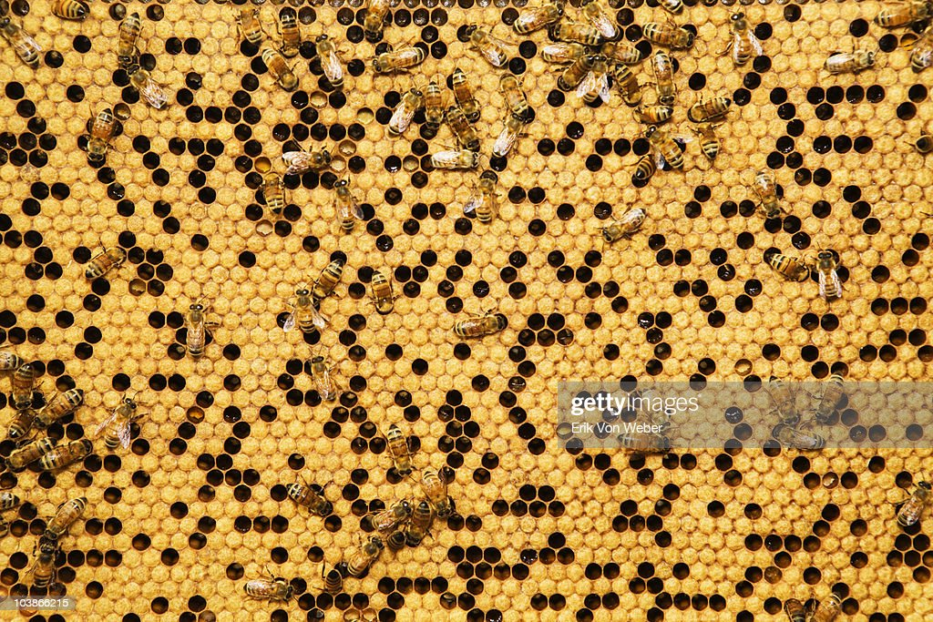 close up photos of honey bees from a man made hive : Stock Photo