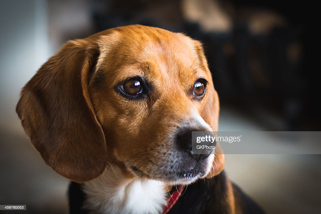 Close up picture of a miniature beagle : Stock Photo