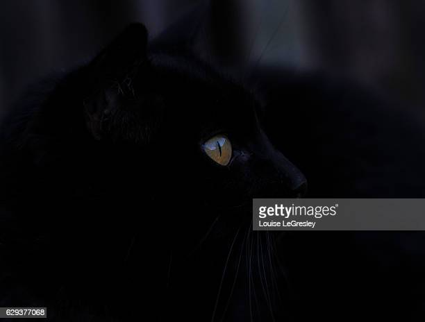 Close up portrait of a black cat