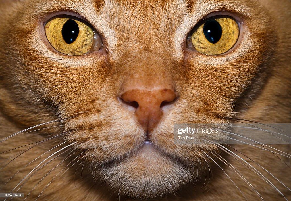 Close up portrait of a cat's face. : Stock Photo