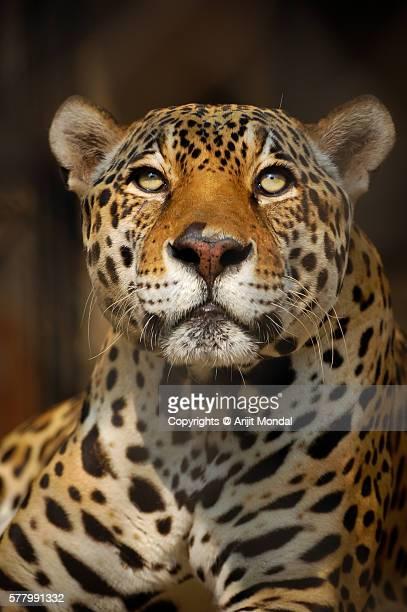 Close up portrait of a Jaguar looking at the camera