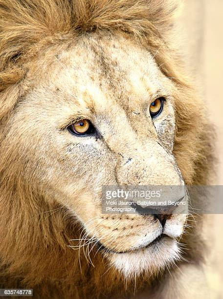 Close Up Portrait of a Male Lion in Ngorongoro, Tanzania