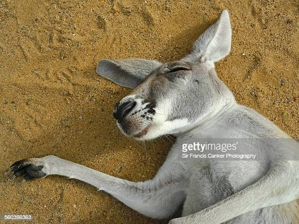 Close up portrait of a sleeping kangaroo